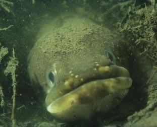 european-eel